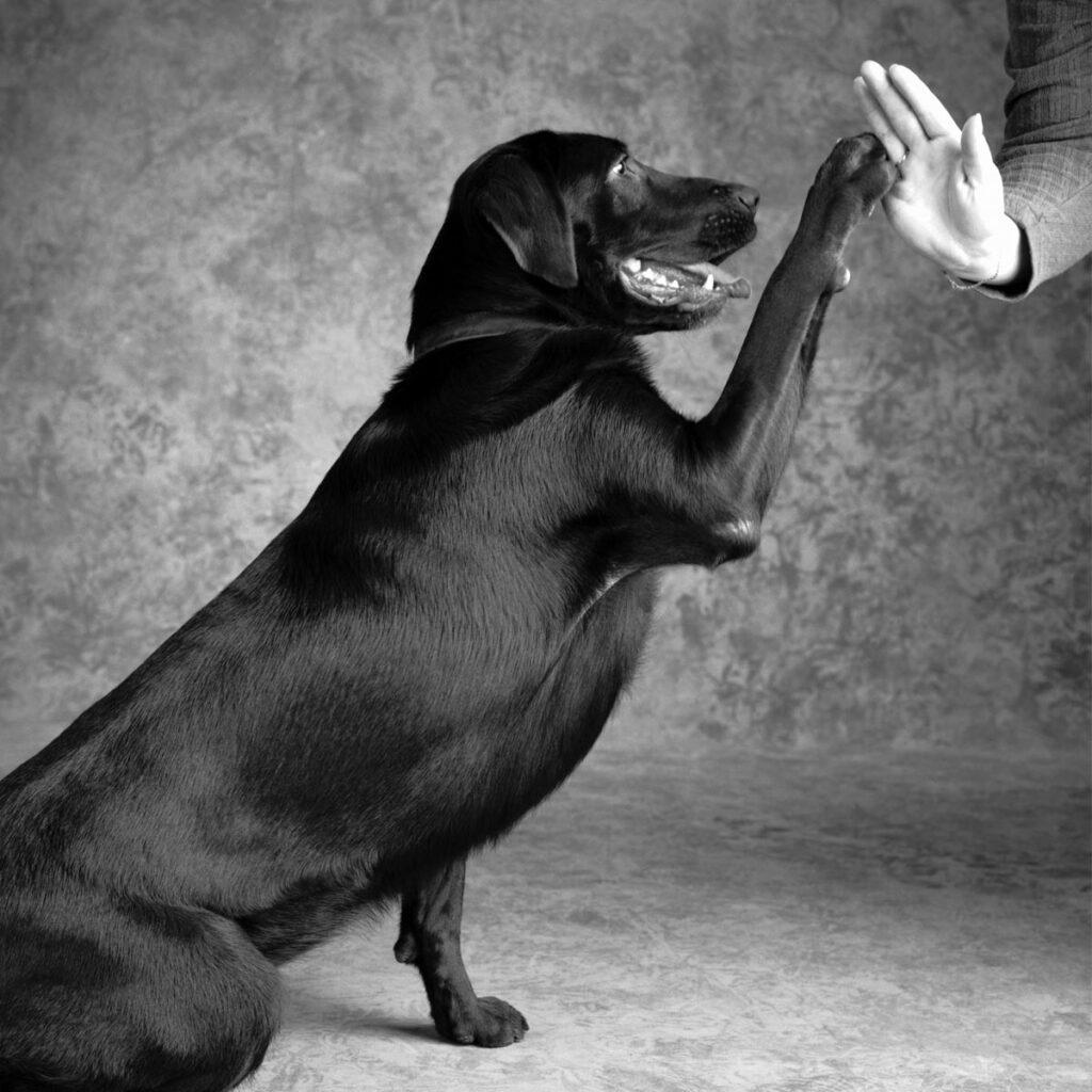 Labrador retriever offering a high five