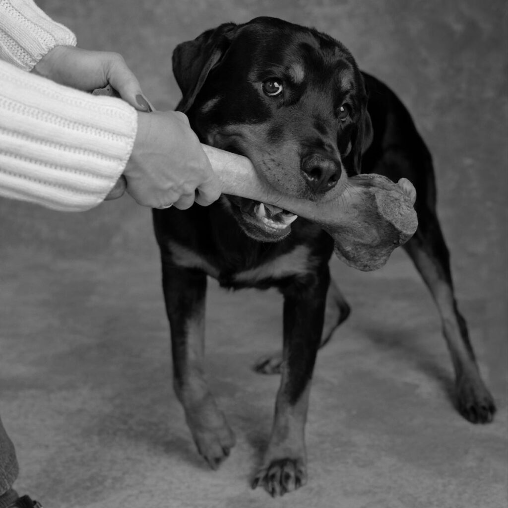 Rottweiler being handed a large bone