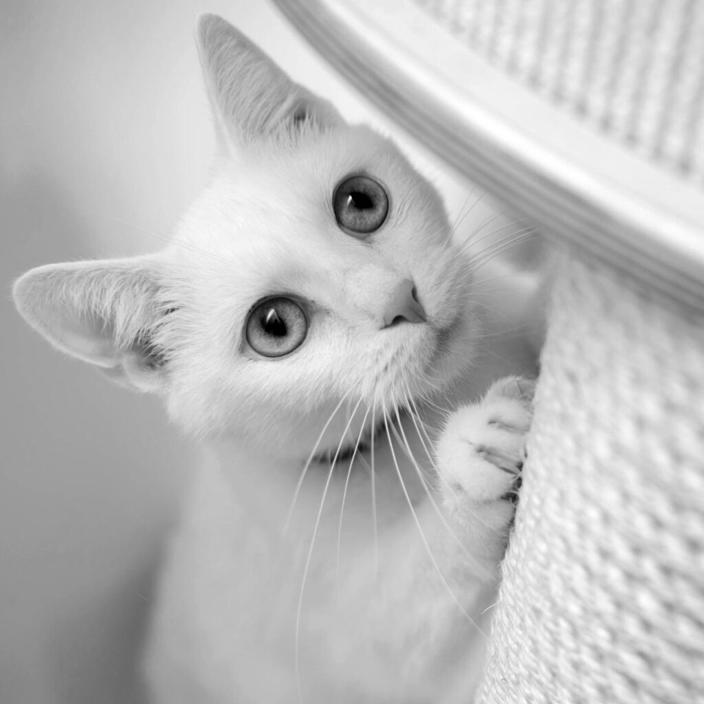 White cat with scratching post