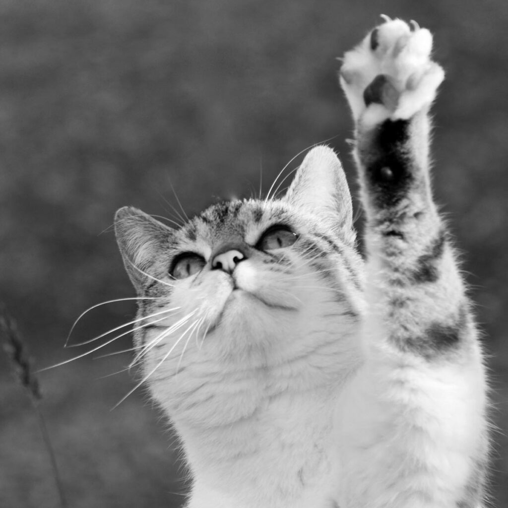 Cat with outstretched paw
