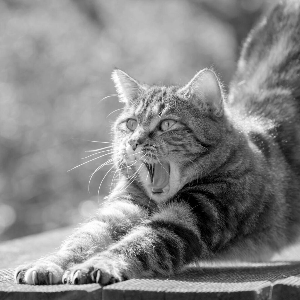 Cat yawning and stretching